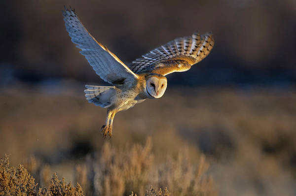 Photograph - Barn Owl Take Off by Rick Mosher