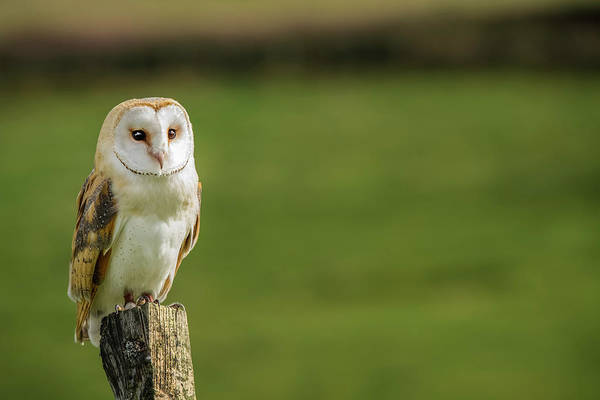 Wall Art - Photograph - Barn Owl  Tyto Alba , Captive, Perched by Uig
