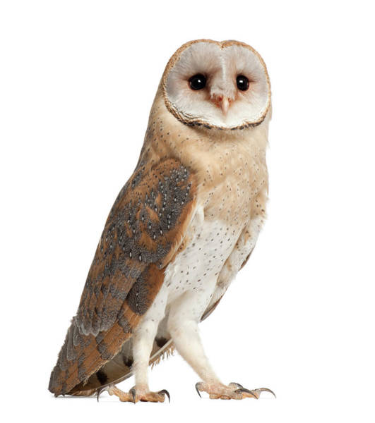 White Barn Photograph - Barn Owl - Tyto Alba 4 Months Old by Life On White