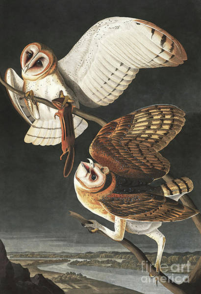 Barn Owl Painting - Barn Owl, Tyto Alba By Audubon by John James Audubon
