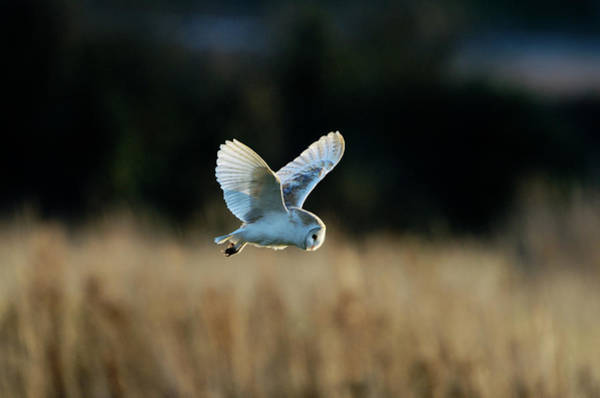 Barn Photograph - Barn Owl Tyto Alba, Hunting by David Tipling