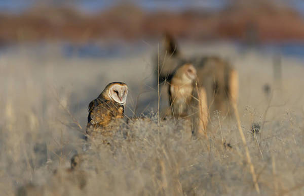Photograph - Barn Owls 9 by Rick Mosher