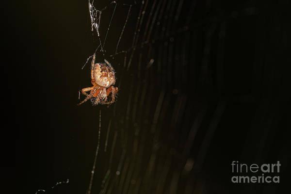 Photograph - barn Spider by Brian Roscorla