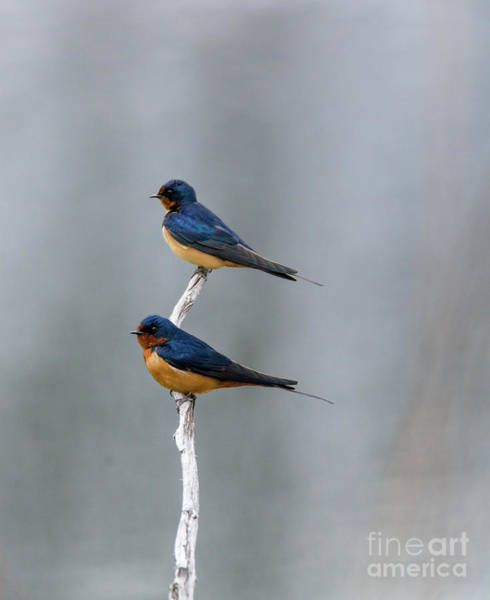 Photograph - Barn Swallows by Randy J Heath