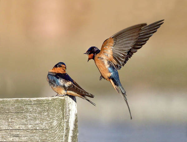 Photograph - Barn Swallow Conversation by Judi Dressler