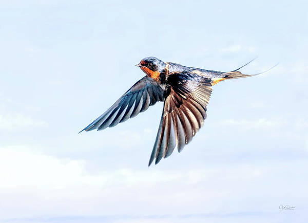Photograph - Barn Swallow Flight by Judi Dressler