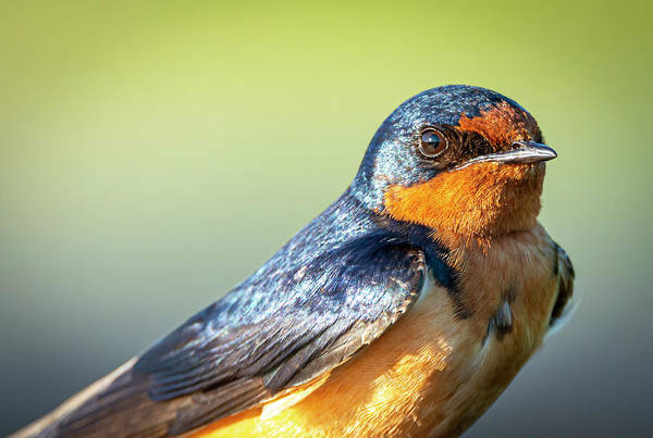 Photograph - Barn Swallow Portrait by Philip Rispin