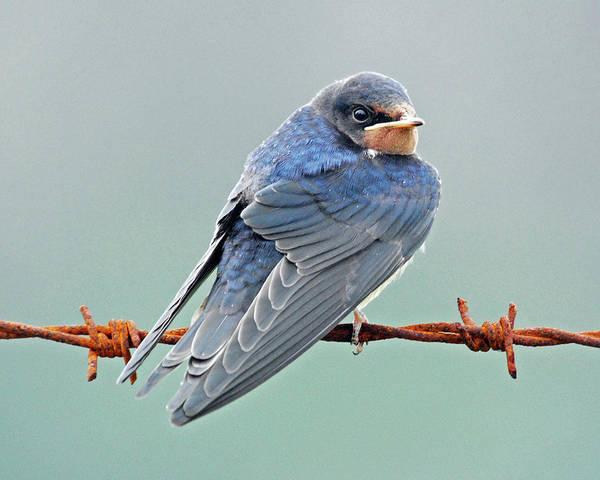 Barn Swallow Wall Art - Photograph - Barn Swallow by Robert Trevis-smith