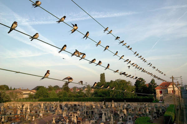 Wall Art - Photograph - Barn Swallows On Wires by Cyril Ruoso