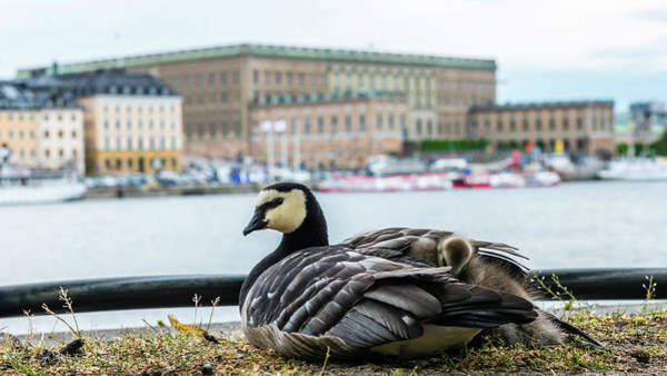 Photograph - Barnacle Goose With Her Three Goslings Under Her Wing  by Torbjorn Swenelius