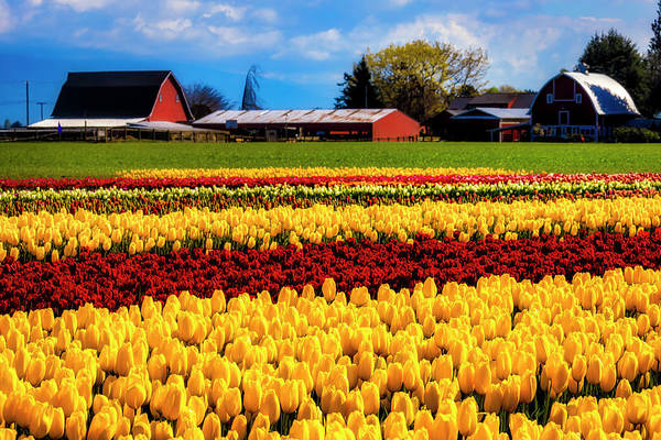 Wall Art - Photograph - Barns And Tulips by Garry Gay