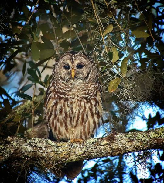 Photograph - Barred Owl 1 by Steve DaPonte
