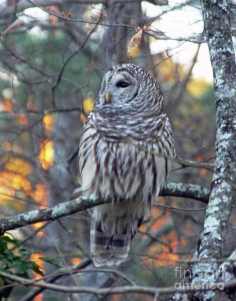 Photograph - Barred Owl 10 by Lizi Beard-Ward