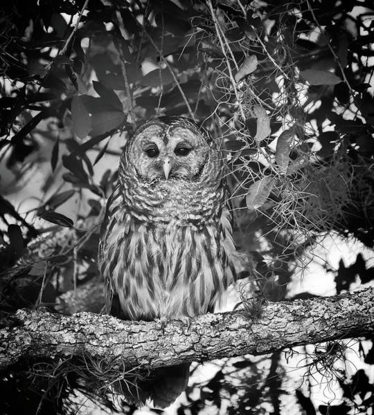 Photograph - Barred Owl 2 by Steve DaPonte