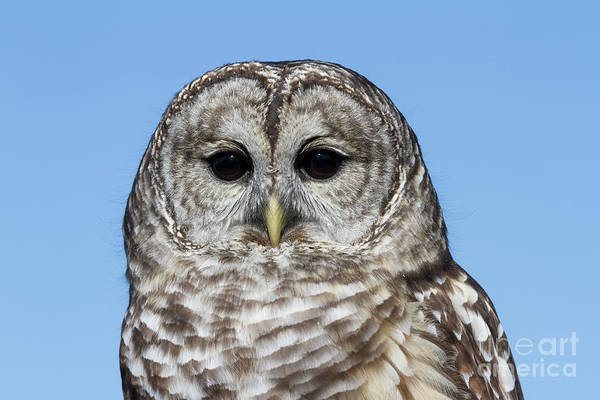 Photograph - Barred Owl 4 by Chris Scroggins