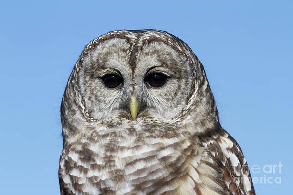 Photograph - Barred Owl 4 by Chris Scroggins