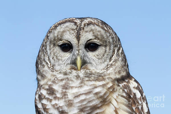 Photograph - Barred Owl 5 by Chris Scroggins