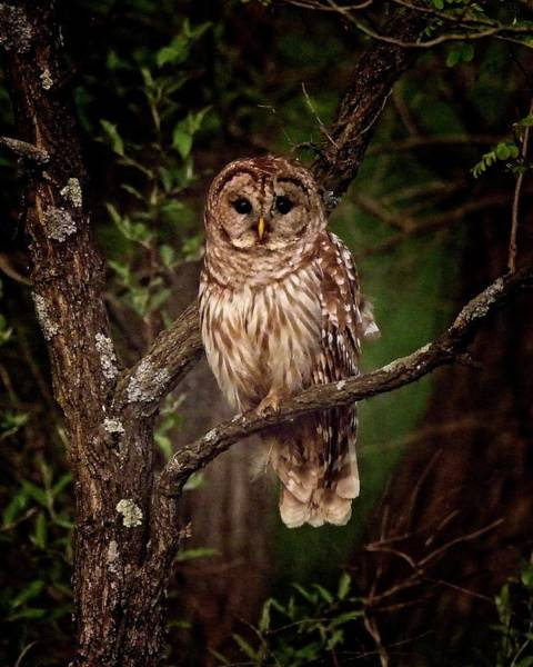 Photograph - Barred Owl At Dusk by Ronald Lutz