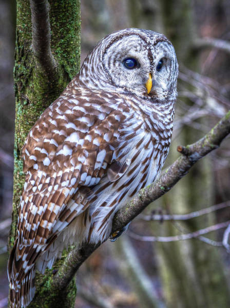 Photograph - Barred Owl by Brad Bellisle