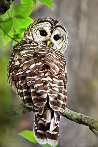 Photograph - Barred Owl by Christina Rollo