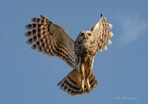 Photograph - Barred Owl In Flight 0130 by Dan Beauvais