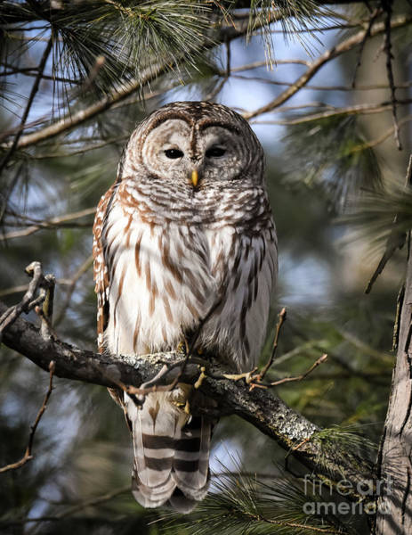 Wall Art - Photograph - Barred Owl In Winter by Amy Porter