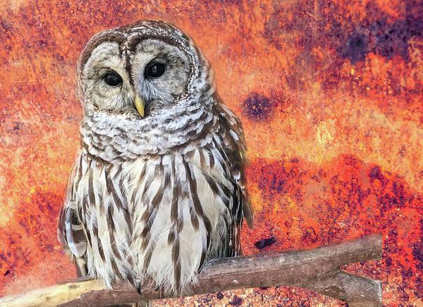 Wall Art - Photograph - Barred Owl by Lorraine Baum
