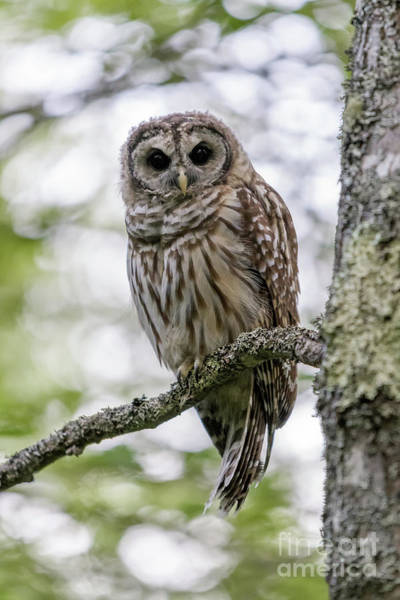 Photograph - Barred Owl Of Acadia by Jesse MacDonald