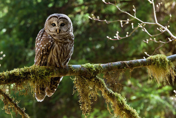 Branch Photograph - Barred Owl, Olympic National Park by Mint Images - Art Wolfe