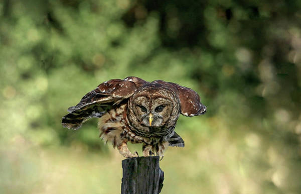 Photograph - Barred Owl by Ronnie and Frances Howard