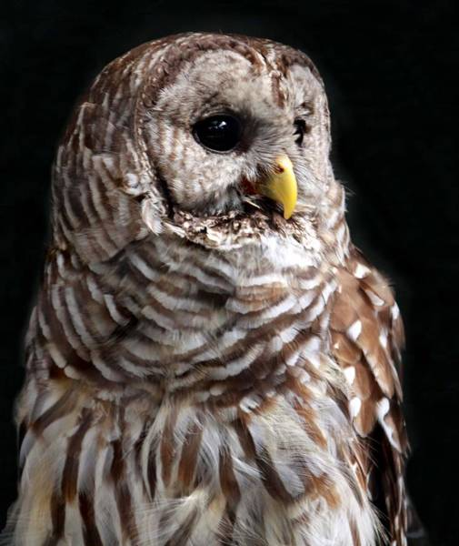 South Carolina Photograph - Barred Owl by Spiraling Road Photography