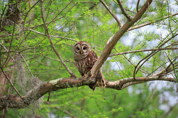 Bar Photograph - Barred Owl, Strix Varia by Louise Heusinkveld