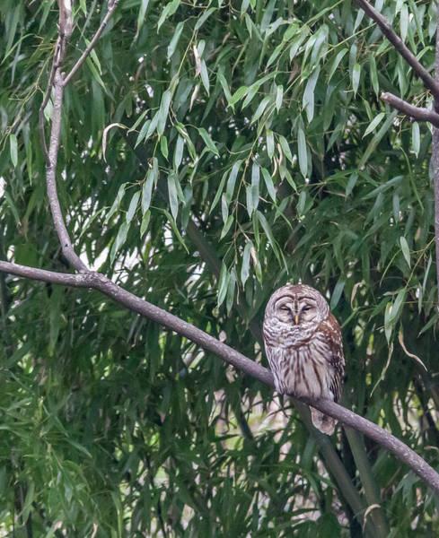 Wall Art - Photograph - Barred Owl by Teresa Mucha