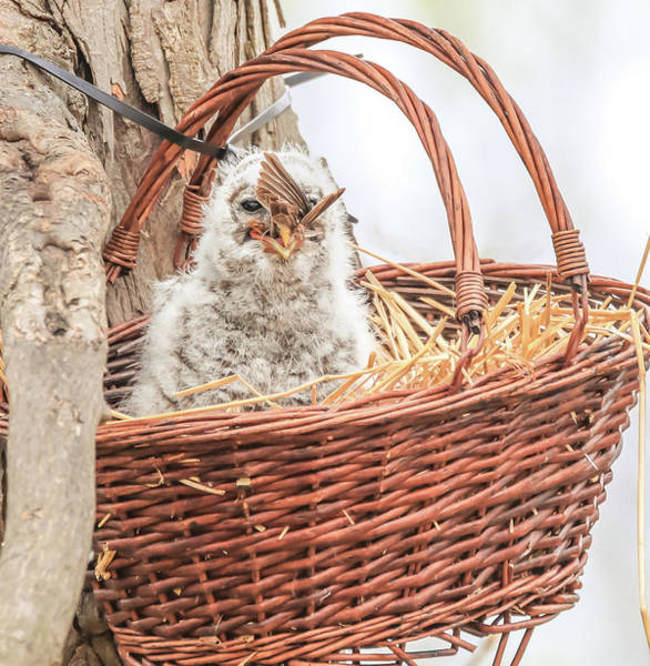 Photograph - Barred Owlet Eating by Dan Sproul