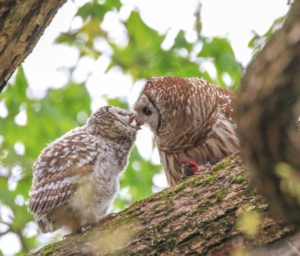 Photograph - Barred Owlet Feeding by Dan Sproul