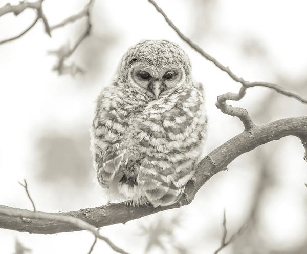 Photograph - Barred Owlet Monochrome by Dan Sproul