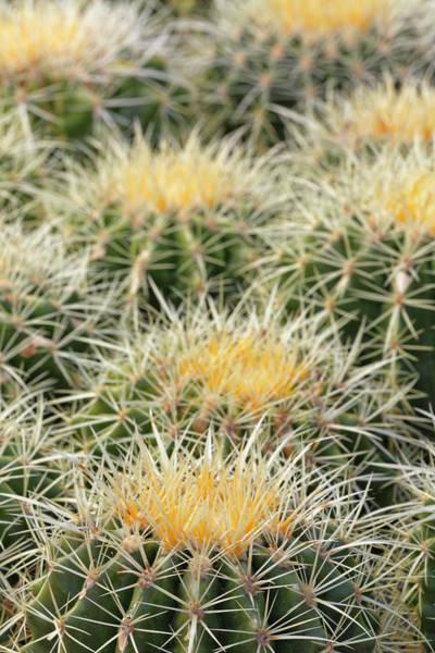 Wall Art - Photograph - Barrel Cactus, Coville, Arizona by Adam Jones