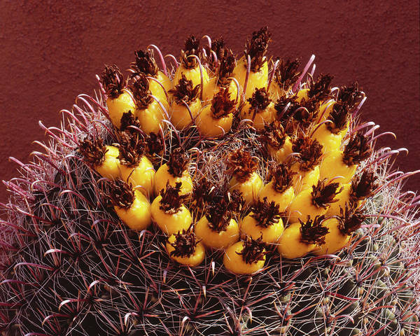 Wall Art - Photograph - Barrel Cactus Fruit by Tom Daniel