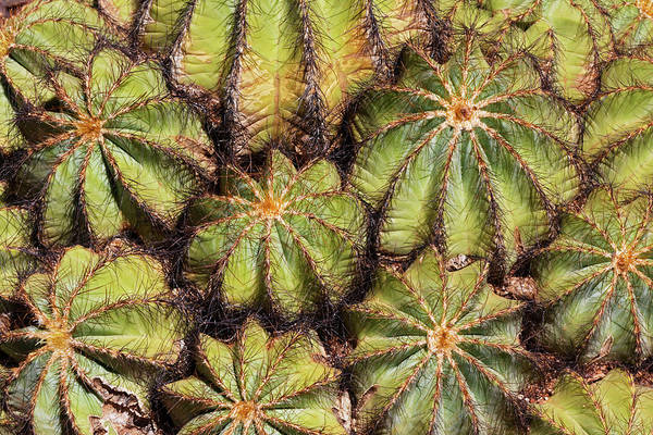 Wall Art - Photograph - Barrel Cactus Pattern, Arizona by Adam Jones