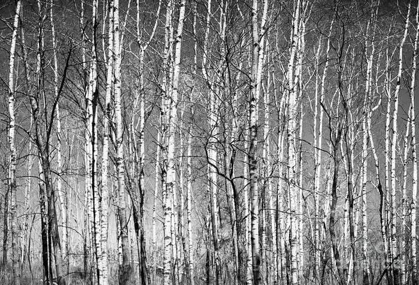 Photograph - Barren Spring Birch Lebanon Hills Regional Eagan Minnesota  by Wayne Moran