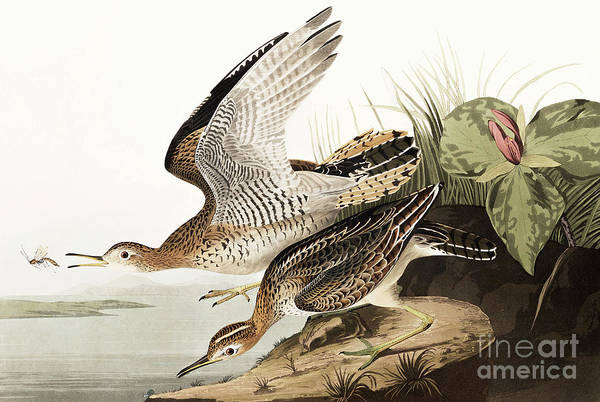 Wall Art - Painting - Bartram Sandpiper, Bartramia Longicauda By Audubon by John James Audubon