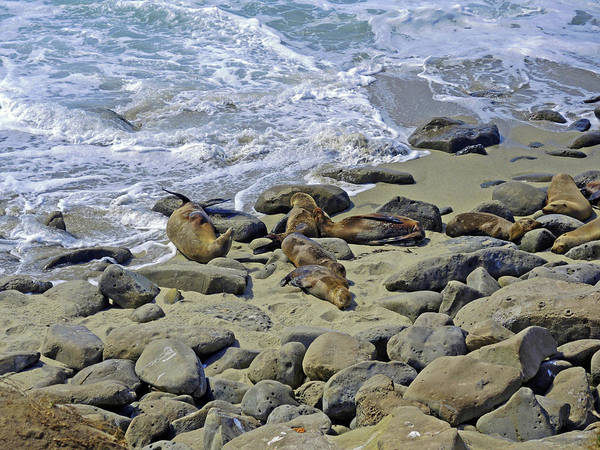 Photograph - Basking On La Jolla Shores by Lynda Lehmann