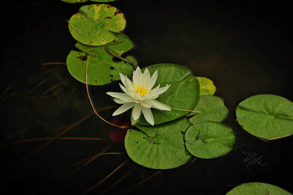 Photograph - Bass Lake Water Lily by Meta Gatschenberger