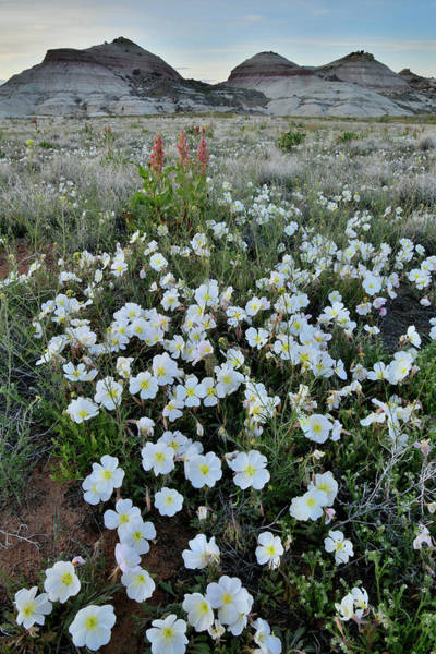 Photograph - Batch Of Desert Roses At Ruby Mountain by Ray Mathis