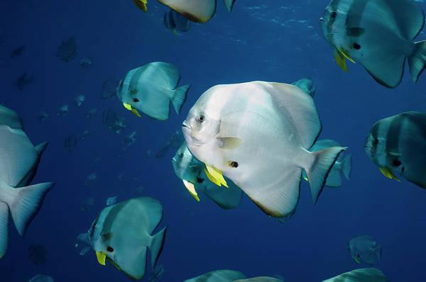 The Maldives Photograph - Batfish Or Spadefish by Georgette Douwma