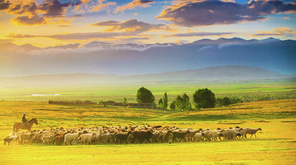 Photograph - Bathed In Sunset Light Sheep On by Feng Wei Photography