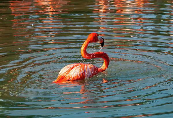 Wall Art - Photograph - Bathing Flamingo by Anthony Jones