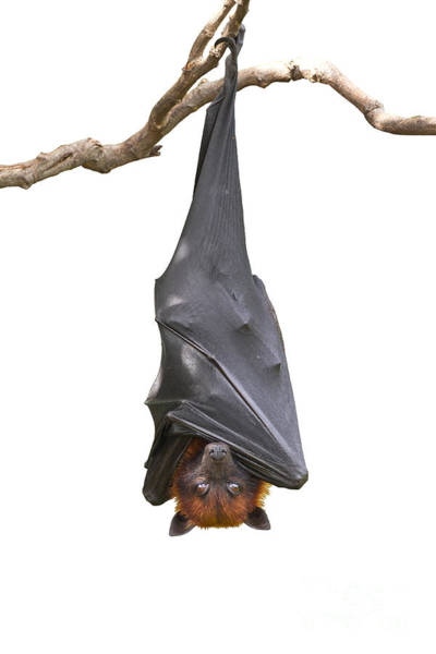 Wall Art - Photograph - Bat,lyles Flying Fox Pteropus by Worraket