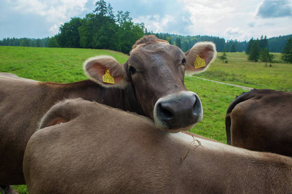 Dairy Cows Photograph - Bavarian Cow Portrait On Alpine Meadow by Olaf Broders