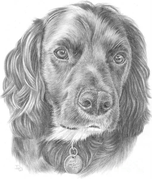 Drawing - Baxter by Pencil Paws
